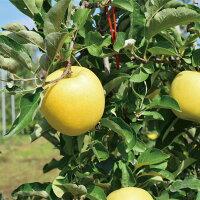 【ふるさと納税】≪12月初旬頃より発送≫りんご(シナノゴールド)約5kg《村石果樹園》【果物・フルーツ・林檎・りんご・リンゴ】