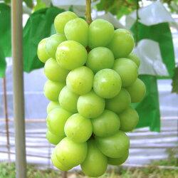 【ふるさと納税】≪10月中旬頃より発送≫シャインマスカット 約2kg《村石果樹園》【果物・ぶどう・フルーツ・果物・ブドウ】 画像2