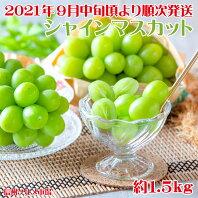 【ふるさと納税】シャインマスカット 約1.5kg《信州グルメ市場》■2021年発送■※9月中旬頃より順次発送予定 果物 フルーツ ぶどう
