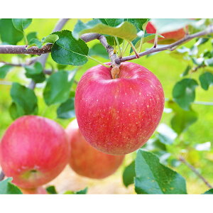 【ふるさと納税】信州の旬のりんごおまかせ5kgセット 【果物・フルーツ・くだもの・リンゴ・林檎】 お届け:2019年8月20日〜2020年1月15日