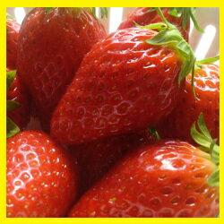 【ふるさと納税】甘くて美味しい高品質の「アルプスいちご」約300g×8
