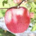 【ふるさと納税】りんごの王様ふじリンゴ! 長野県産 りんご(...