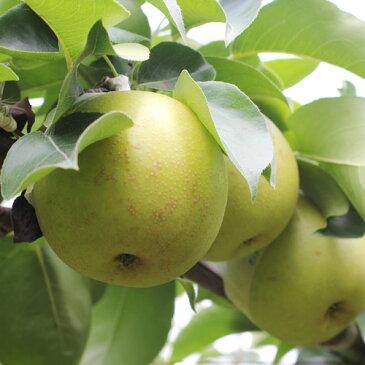 【ふるさと納税】溢れる果汁 長野県産 なし(二十世紀) 約5キロ 秀品 ※着日指定はできません。沖縄・離島への発送不可。※8月下旬〜9月下旬頃に順次発送予定