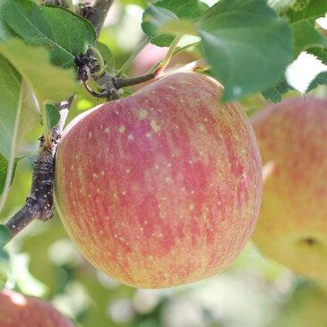 【ふるさと納税】りんごの王様ふじリンゴ!長野県産 約5kg 秀品 ※着日指定はできません。沖縄・離島への発送不可。※11月中旬〜12月中旬頃に順次発送予定