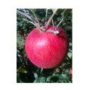 【ふるさと納税】北條農園の「シナノスイート」家庭用10kg 【果物類・林檎・りんご・リンゴ・果物・フルーツ】 お届け:2020年10月中旬〜10月下旬