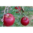 【ふるさと納税】【2021年度産】外川果樹園【贈答用】紅玉 約4.5kg 【果物類・林檎・りんご・リンゴ・紅玉・約4.5kg・贈答用】 お届け:2021年9月下旬〜10月下旬