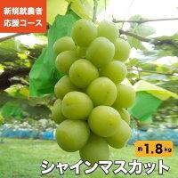 【ふるさと納税】新規就農者応援コース シャインマスカット 約1.8kg