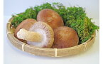 【ふるさと納税】大垣椎茸 肉厚・ジューシー 1kg
