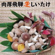 菌床肉厚生しいたけ椎茸シイタケ1.5kg飛騨・山之村産しいたけ[A0103]