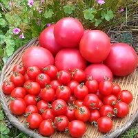 【ふるさと納税】《期間限定》ひだかみ流葉コクと旨味の有機大玉トマトとミニトマトのセット有機JAS認定合計2kg[A0036]