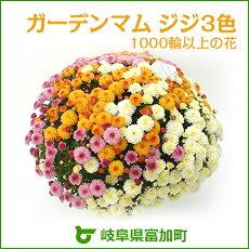 【ふるさと納税】【10023】ガーデンマムジジ3色1000輪以上の花☆