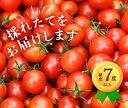 【ふるさと納税】掛川産ミニトマト「千果」(ちか)150g×1