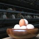 富士山の恵み豊かな環境で、愛情一杯に育てています。「純国産鶏さくらちゃんが産んだ桜色のさくら玉子の五分咲き60個」