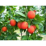 【ふるさと納税】国産(美浜町産)ブラッドオレンジ 『モロ種3kg入り』
