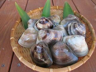 丸元水産 桑名産蛤(ハマグリ)1.4kg