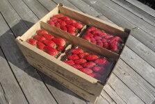 【ふるさと納税】のらくら農園のらくら農園の新鮮いちご・たっぷりセット