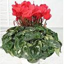 【ふるさと納税】明和の冬の花「シクラメン」赤 5号鉢