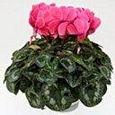 【ふるさと納税】明和の冬の花「シクラメン」ピンク 5号鉢...