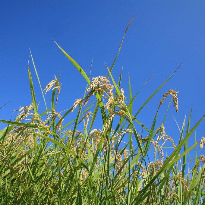 【ふるさと納税】滋賀県産 低農薬有機肥料栽培 コシヒカリ 白米 5kg※着日指定はで...