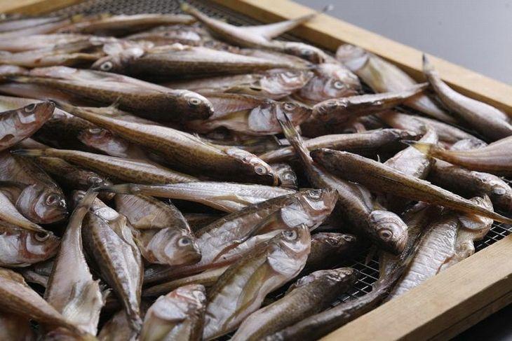 【ふるさと納税】日本海産 丸々太ったハタハタさん