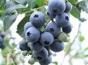 無農薬栽培ブルーベリー