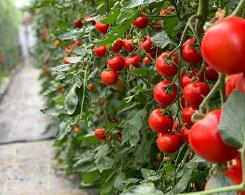 【ふるさと納税】No.055行列のできるトマト屋さんのフルティカとまと約2.4kg