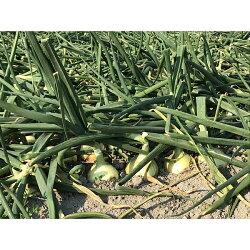 【ふるさと納税】O-23*成井さんちの完熟たまねぎ(5kg)+完熟たまねぎスープ【令和3年春収穫分】 画像2