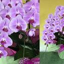 【ふるさと納税】胡蝶蘭(ピンク) 【植物・花・鉢植え・こちょうらん】 お届け:2020年3月中旬〜2020年11月10日頃