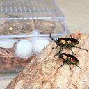 【ふるさと納税】クワガタ虫(成虫)オスメスペア飼育セット付 その1