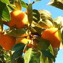 たねなし柿7.5kg(22〜28個入)