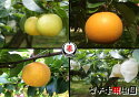 梨子本果樹園の梨