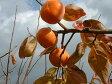 【ふるさと納税】ご自宅用に たっぷり富有柿わけあり品(約10kg・約40個入り)11月中旬から順次発送予定です