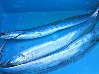 【ふるさと納税】紀州太刀魚ドラゴンサイズ(1kg〜)