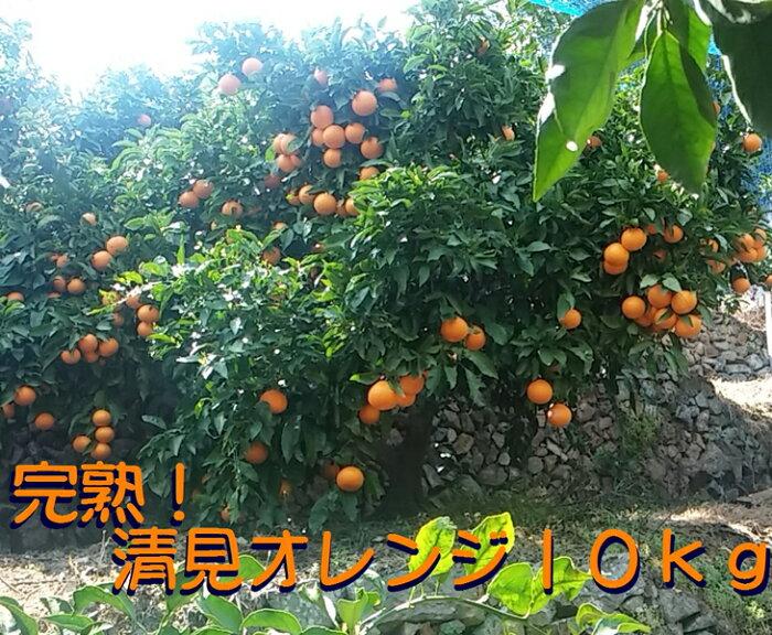 【ふるさと納税】久幸園 完熟清見オレンジ 10kg【日時指定不可】