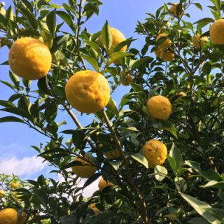 紀州和歌山の柚子
