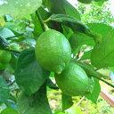 【ふるさと納税】【国産】紀州和歌山 有田レモン 約3kg
