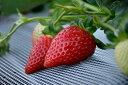 【ふるさと納税】和歌山の季節限定プレミアムなイチゴ 『毬姫様...
