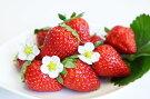 春のお楽しみ大満足和歌山のイチゴ『まりひめ』朝摘み無選別約500g×4パック
