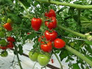 【ふるさと納税】イチゴのような可愛いハート型ミニトマト(トマトベリー)2kg※2019年1月中旬〜4月中旬頃に順次発送予定