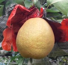【ふるさと納税】038 王秋梨(安田農園)鳥取 フルーツ 果物 ジューシー 梨 なし ナシ  期間限定