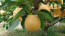 【ふるさと納税】353 こたつで食べる冬の梨 「王秋」 (3