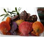 【ふるさと納税】養殖アワビヒオウギ貝セット