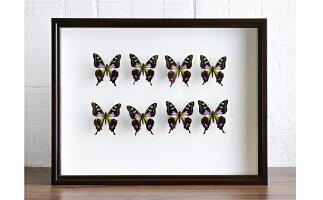 【ふるさと納税】昆虫標本箱(ドイツ箱)ミイロタイマイ蝶8頭入れ【工芸品】