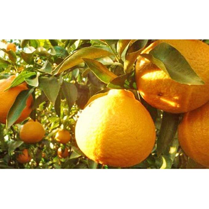 【ふるさと納税】特選24玉 しらぬひ(露地) 【果物類・みかん・柑橘類 】 お届け:2020年3月上旬~2020年3月中旬