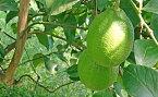 【ふるさと納税】グリーンレモン(露地栽培) 2.5kg 【果物類・柑橘類・レモン・檸檬】 お届け:2020年11月1日から12月15日まで