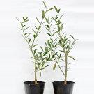 【ふるさと納税】オリーブの苗木2本セット