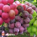 【ふるさと納税】<お楽しみ旬葡萄 食べ比べセット 大房3〜中...