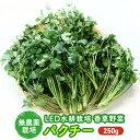 【ふるさと納税】LED水耕栽培 香味野菜(パクチー)250g 【ハーブ・野菜・ 香味野菜・パクチー】
