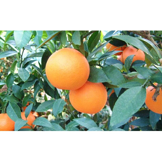 【ふるさと納税】紅まどんな5kg 【果物類・みかん・柑橘類・果物類・みかん・柑橘類】 お届け:12月上旬〜12月下旬