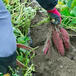 【ふるさと納税】掘りたてさつまいも3kg 野菜 きんとき芋 送料無料 <RK058> 画像2